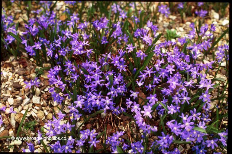Small blue bulbs broadleigh gardens chionforb mightylinksfo Gallery