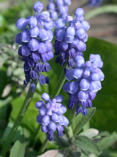 Small blue bulbs broadleigh gardens muscariarmenaicum mightylinksfo