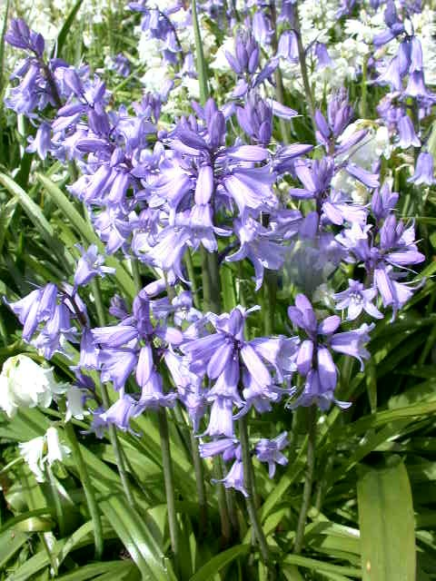 The Name Scilla Is Often Misapplied To Bluebells Which Are More Correctly Called Hyacinthoides And Need Little Introduction True British Native