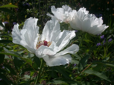 Tree peonies(May - June)