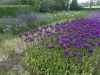allium collection (May - June)