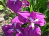 iris ensata June)