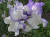 bearded iris (May - June)