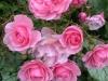 roses(May - July)