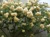 rose Buff Beauty(June)