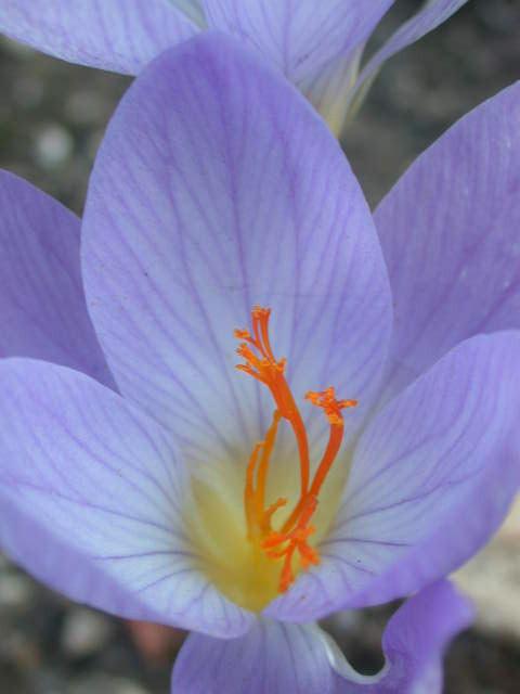 crocusspeciosus1