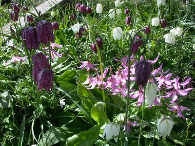 Erythroniums with fritillaries