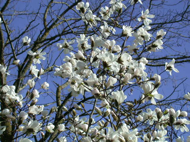 Magnolia loebneri (March)