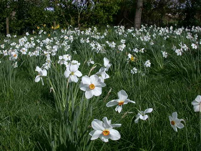 Massed Narcissus Actea in wild garden (March-April)