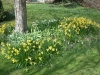 Daffodils under the  cherry