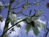 Magnolia campbellii(Feb-