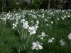 Massed Narcissus Actea in wild garden (March-April)