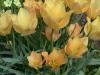 Tulip batalinii (April)