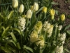 Tulips with Hyacinths in the yellow border in April