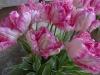Tulip Silver Parrot (April-May)