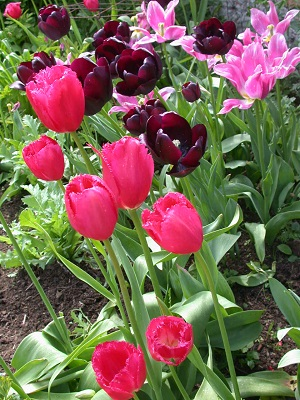 Tulips in the pink border (April-May)