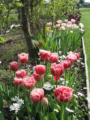 Tulips under the pear (May)