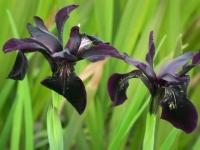 irischryspographes