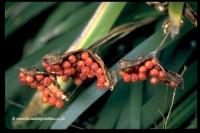 irisfoetberries
