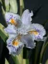 irisjaponicavar_small