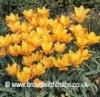 tulipaprijewel2
