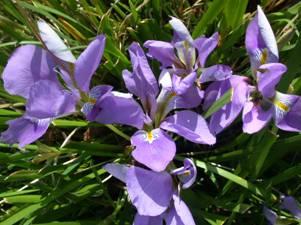 Winter Iris Broadleigh Gardens