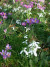 crocussnowdrops_small