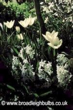 tulipwemp