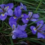 Iris unguicularis 005