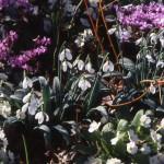 galanthus,primrose,cyclamen,