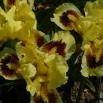 Iris Pogo DBI