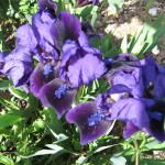 Iris Double Lament DBI