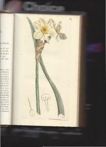 Sowerby N biflorus